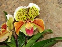 Orchidée de Paphiopedilum sur le fond de roche Photos stock