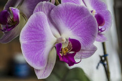 Orchidée de papillon Images stock