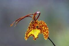 Orchidée de papillon jaune et orange photo libre de droits