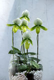 Orchidée de papillon verte Images stock