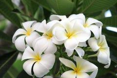 Orchidée de Plumeria et vie lente légère de matin Image libre de droits