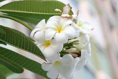 Orchidée de Plumeria et vie lente légère de matin Images libres de droits