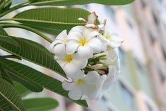 Orchidée de Plumeria et vie lente légère de matin Photo stock