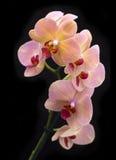 Orchidée de rouge de brique dans le pot Image libre de droits