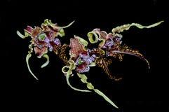 Orchidée de Spectible de Dendrobium Image libre de droits