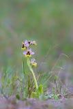 Orchidée de tenthrède dans la prairie Images libres de droits