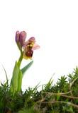 Orchidée de tenthrède - tenthredinifera d'Ophrys Image libre de droits