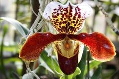 Orchidée de tigre dans la fin de jardin botanique  photo stock
