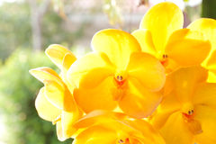 orchidee vanda jaune