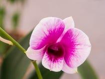 Orchidée de Yukidian, orchidée rose photographie stock libre de droits