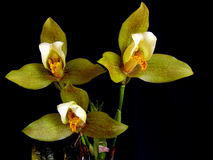 Orchidée : Deppei de Lycaste Photo libre de droits