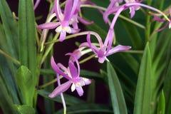 Orchidée des espèces de falcata de Neofinetia Images libres de droits