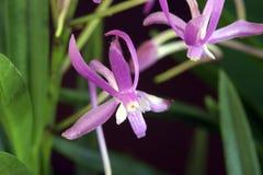 Orchidée des espèces de falcata de Neofinetia Images stock