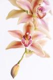 Orchidée en baisse Photos stock