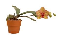 Orchidée en fleur Photo libre de droits
