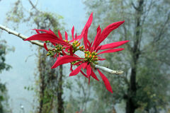 Orchidée en pleine floraison, Pelling, Sikkim Photographie stock