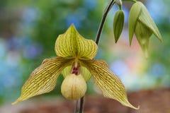 Orchidée en Thaïlande (Paphiopedilum) Photo stock