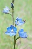 Orchidée et visiteur bleus rares de Sun Photographie stock libre de droits