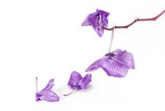 Orchidée fanée Image libre de droits