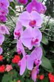 Orchidée gentille s'élevant dans un jardin en Thaïlande Photo stock