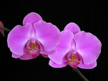 Orchidée : Hybride de Phalaenopsis Photo stock