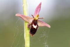 Orchidée hybride sauvage ultra rare d'abeille/araignée, luizetii d'Ophrys Photo stock