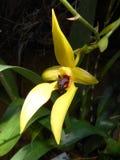 Orchidée jaune Images stock