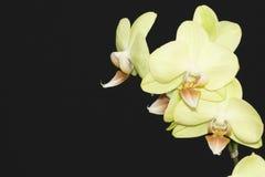 Orchidée jaune Photos libres de droits