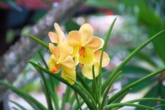 Orchidée jaune Images libres de droits