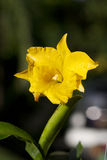 Orchidée jaune Photos stock
