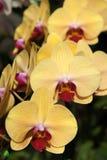 Orchidée jaune Photo stock