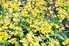 Orchidée jaune Photo libre de droits