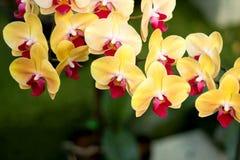 Orchidée jaune photographie stock