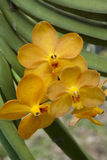 Orchidée jaune Images stock