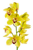 Orchidée jaune d'isolement Images libres de droits