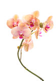 Orchidée jaune d'isolement Image libre de droits