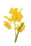 Orchidée jaune d'isolement sur le fond blanc Photographie stock