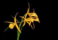 Orchidée jaune d'oiseau de Brassolaelia Photo libre de droits