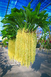 Orchidée jaune de Rhynchostylis Photo libre de droits