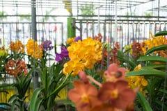Orchidée jaune de Vanda Photographie stock libre de droits