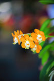Orchidée jaune de Vanda Photos libres de droits