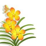 Orchidée jaune de Vanda Images libres de droits