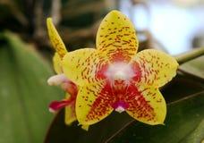 Orchidée jaune en forme d'étoile photographie stock libre de droits