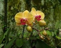 Orchidée jaune et rouge image stock