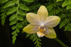 Orchidée jaune/orange aux jardins de Longwood, PA, Etats-Unis Photo stock