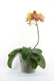 Orchidée jaune simple avec l'endroit pourpré Image libre de droits