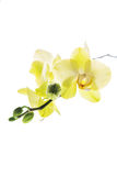 Orchidée jaune sur un fond blanc photos stock