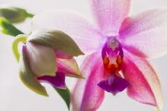 Orchidée Liodoro Hybride de Phalaenopsis Image libre de droits