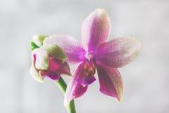 Orchidée Liodoro Hybride de Phalaenopsis Photo libre de droits
