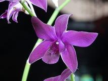 Orchidée magenta Photos stock